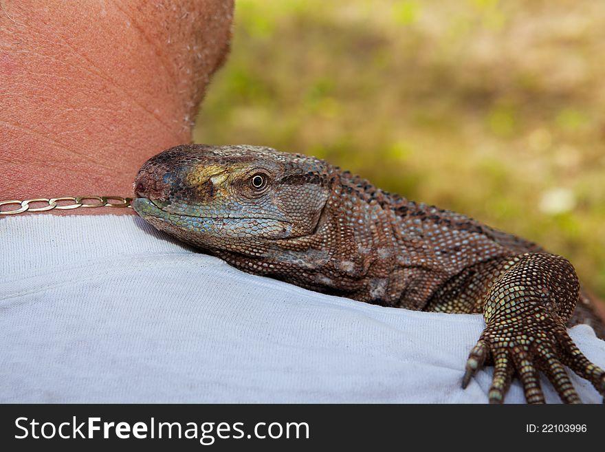 Pet Black Throat Monitor Lizard