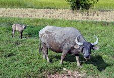 Free Buffalo Royalty Free Stock Image - 22113896