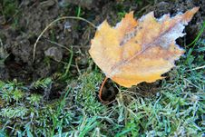 Free Frosty Yellow Leaf Royalty Free Stock Photography - 22114807