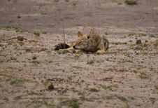 Free Black-backed Jackal &x28;Canis Mesomelas&x29; Sleeping Royalty Free Stock Images - 22118169