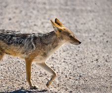 Black-backed Jackal Close-up Stock Images