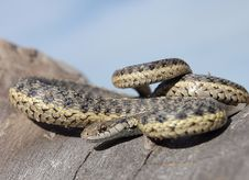 Free Mad Garter Snake Stock Photos - 22119643
