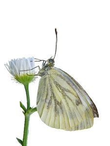 Free Green-veined White Royalty Free Stock Photos - 22119738