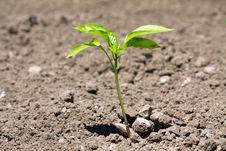 Free Capsicum Plant Closeup Stock Photography - 22122172