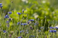 Free Cornflower In Meadow Stock Photography - 22122192