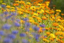 Free Field Of Calendula Royalty Free Stock Image - 22122226