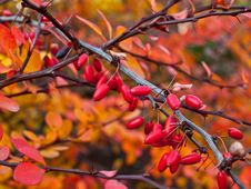Free Small Rose Hips Stock Photography - 22122982