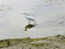 Free Snowy Egret Royalty Free Stock Image - 22125036