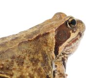 Free Head Of Goggle-Eyed Frog Close-up Royalty Free Stock Photo - 22140265