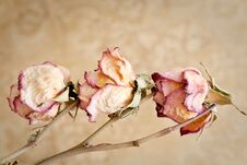 Free Dried Roses Stock Image - 22142331