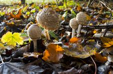 Closed Shaggy Parasol Mushrooms Royalty Free Stock Images
