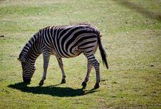 Free Zebra Stock Image - 22145221