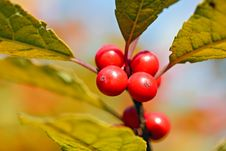 Free Red Berries On Blurry Background Stock Image - 22152961
