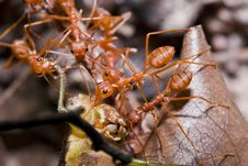 Free Ants And Victim Grasshopper Royalty Free Stock Image - 22157116