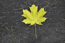 Free Maple Leaf Royalty Free Stock Photography - 22157537