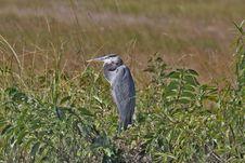 Free Blue Heron Stock Image - 22161271