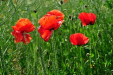 Free Red Poppies Stock Photo - 22161300