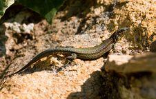 Lizard Stock Images