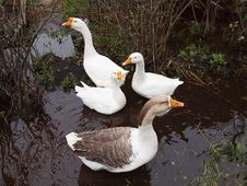 Free Four White House Geese. Royalty Free Stock Photo - 22161365