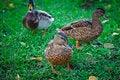 Free Three Ducks Stock Photo - 22177770