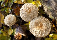 Shaggy Parasol Mushrooms Royalty Free Stock Photography