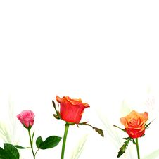 Free Colorful Roses On White Background Royalty Free Stock Photo - 22172075