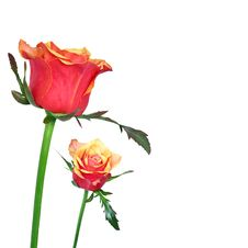 Free Red And Orage Roses On White Background Royalty Free Stock Image - 22172106