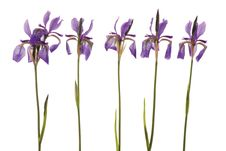 Five Purple Iris Stock Image