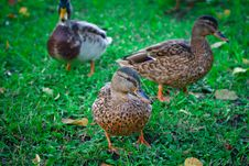 Free Three Ducks Stock Photo - 22177770