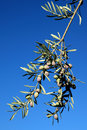 Free Olive Branch Against Blue Sky Royalty Free Stock Image - 22183446