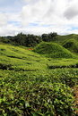 Free Tea Plantation Royalty Free Stock Photos - 22188858