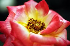 Free Red Colored Rose Flower Up Close Stock Image - 22181451