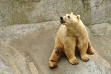 Free Polar Bear Stock Image - 22182601