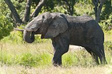 Free Elephant Drinking Stock Photography - 22183222