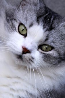 Free Cat S Face Stock Images - 22186144
