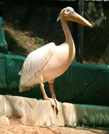 Free Pelicans Stock Photography - 22186172