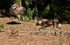 Free Wild Dogs Chasing White-backed Vulture Royalty Free Stock Photos - 22186188