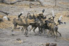 Free Wild Dogs Play-fighting Stock Images - 22186594