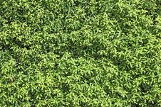 Free Natural Green Leaf Seamless Bush Wall Royalty Free Stock Photos - 22186598