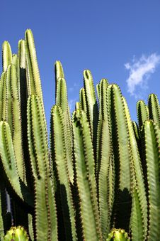Free Cactus - Euphorbia Canariensis Royalty Free Stock Photo - 22186675