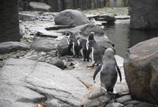 Free Humboldt Penguin Royalty Free Stock Photos - 22188118