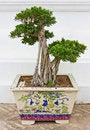 Free Bonsai. Stock Photography - 22191012