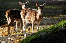 Free Two Deers Royalty Free Stock Photo - 22193345