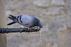 Free Thirsty Pigeon Stock Image - 22194641