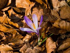 Free Crocus In Beech Dead Leaves Royalty Free Stock Photos - 22195308