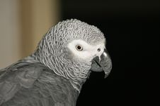 Free Gray Parrot Royalty Free Stock Photo - 22196955