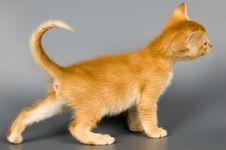 Free Kitten In Studio Royalty Free Stock Photography - 2220197