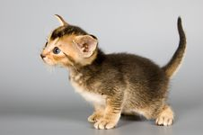 Free Kitten Of Abyssinian Breed Royalty Free Stock Photo - 2220255