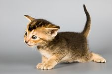 Kitten Of Abyssinian Breed Stock Image