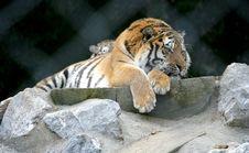 Free Amur Tiger 1 Royalty Free Stock Photo - 2220475